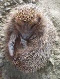 Hedgehog. Close up of hedgehog stock image
