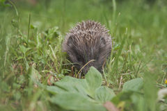 hedgehog Fotografia de Stock