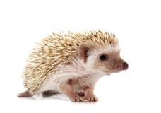 Free Hedgehog Royalty Free Stock Images - 4846419
