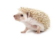 hedgehog стоковая фотография