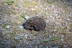 hedgehog Stockfotografie