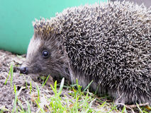hedgehog Stockbild