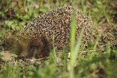 hedgehog Stockbilder