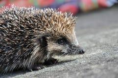 hedgehog Stockfotos
