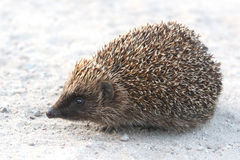 Hedgehog. Cute little hedgehog on road Royalty Free Stock Image
