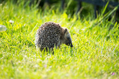 hedgehog Stock Foto's