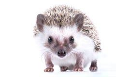 hedgehog Stock Foto's