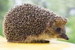 hedgehog Стоковое Изображение