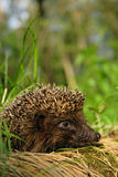 Hedgehog. Close-up of a little hedgehog on the grass Royalty Free Stock Image