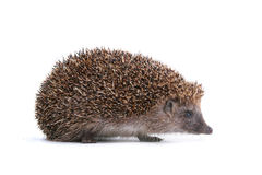 Hedgehog. Photo of hedgehog on white background Stock Photo