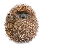 Hedgehog. Photo of hedgehog on white background Royalty Free Stock Images