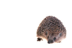 Hedgehog. Photo of hedgehog on white background Royalty Free Stock Photo