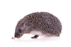 Hedgehog. Photo of hedgehog on white background Stock Images