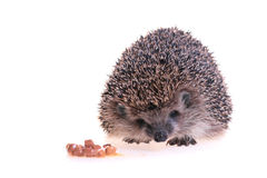 Hedgehog. Photo of hedgehog on white background Royalty Free Stock Photos