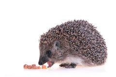 Hedgehog. Photo of hedgehog on white background Royalty Free Stock Photography