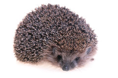 Hedgehog. Photo of hedgehog on white background Stock Photos