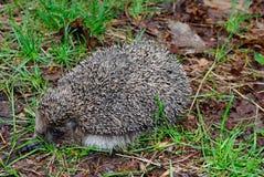 hedgehog Fotografia de Stock