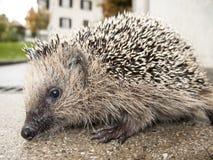 hedgehog Lizenzfreie Stockfotos