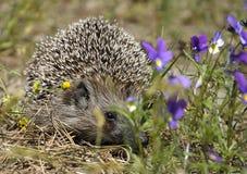 hedgehog Immagine Stock Libera da Diritti