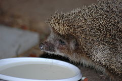 Hedgehog. Forest hedgehog next to a bowl with milk Stock Photo