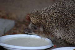 Hedgehog. Forest hedgehog next to a bowl with milk Stock Photos