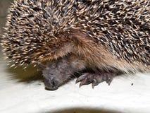 hedgehog Stockfoto