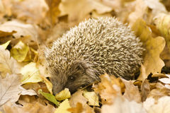 Free Hedgehog Stock Images - 7641924