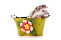 hedgehog Royalty-vrije Stock Fotografie