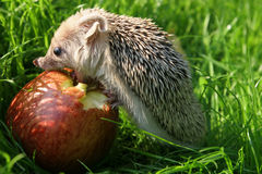 The hedgehog. Eats an apple Royalty Free Stock Photos