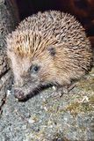 hedgehog Stockbild