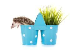 hedgehog Stock Foto