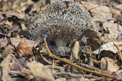 Hedgehog. Wild hedgehog. It is caught in a field, it is photographed and let out on will Royalty Free Stock Images