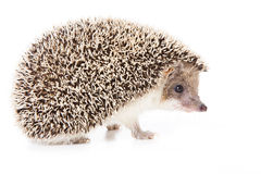 Free Hedgehog Royalty Free Stock Image - 9054886