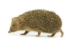 Hedgehog Stock Photos
