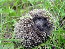 Free Hedgehog Stock Image - 9426431