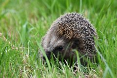 hedgehog Fotografia de Stock Royalty Free