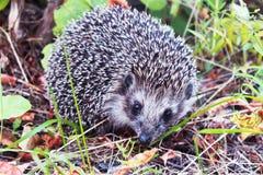hedgehog Stock Afbeelding