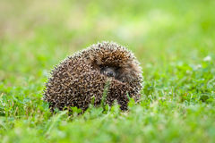 Hedgehog acima ondulado Fotografia de Stock