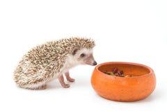 Hedgehog , African pygmy hedgehog eating Stock Photos