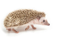 Hedgehog , African pygmy hedgehog. On white background Royalty Free Stock Photos