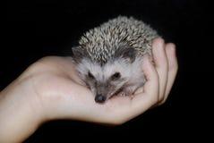 Hedgehog africano do pigmeu Fotografia de Stock Royalty Free
