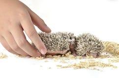 Hedgehog africano do pigmeu e uma mão Imagem de Stock