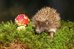 Hedgehog and agaric stock image
