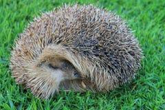 Hedgehog agradável Imagem de Stock Royalty Free