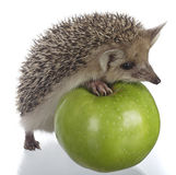 Hedgehog And Apple Stock Photo