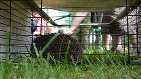 Hedgehog animal closeup in captivity cage and people touch stock video footage