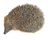 Hedgehog animal isolated on white Royalty Free Stock Photography