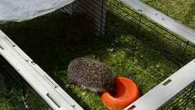 Hedgehog animal lap water from orange dish in captivity cage