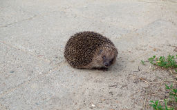 Hedgehog animal in our park area Stock Image