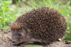 Hedgehog, animal, wild Stock Photos